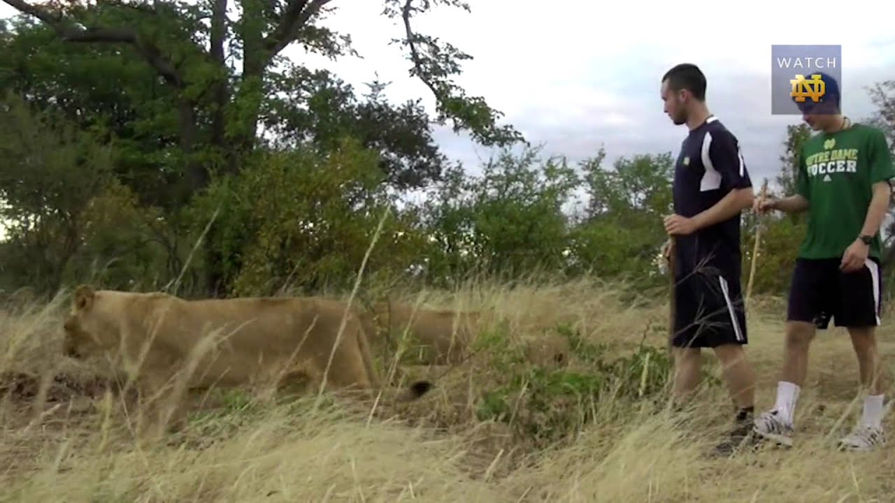 #NDInAfrica - Walking With Lions